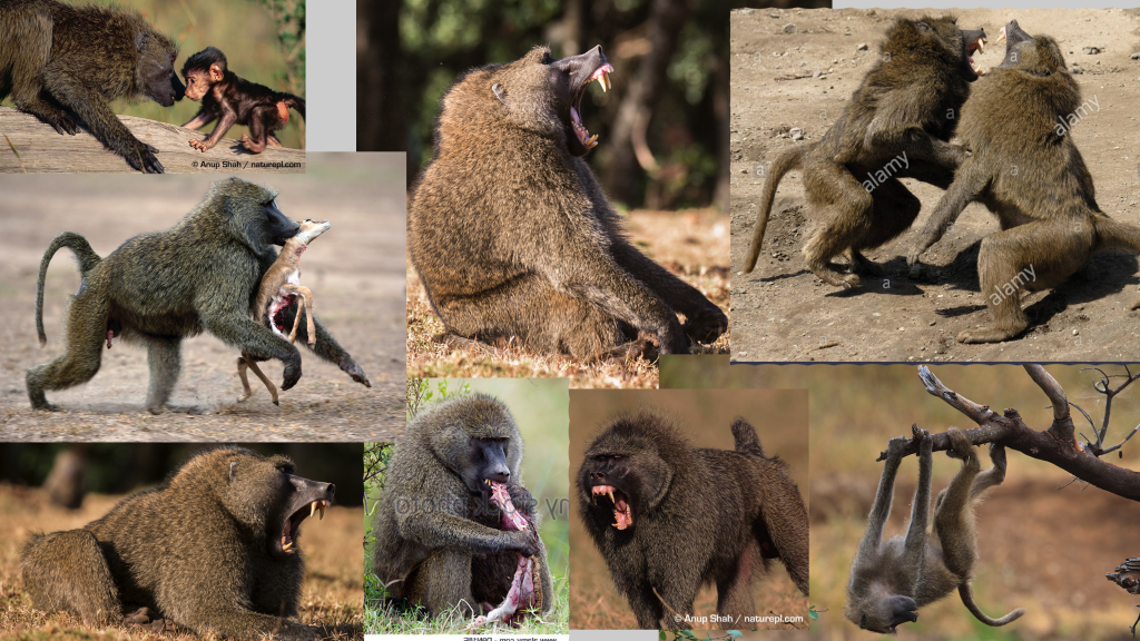 baboon_ref
